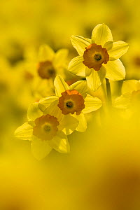 Study of Daffodils (Narcissus sp) grown for the commercial market, Happisburgh, Norfolk, UK, March - Ernie Janes