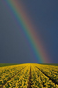Rainbow over field of Daffodils (Narcissus sp) grown for the commercial market, Happisburgh, Norfolk, UK, March - Ernie Janes