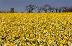 RF- Field of Daffodils (Narcissus sp) grown for the commercial market, Happisburgh, Norfolk, UK, March. (This image may be licensed either as rights managed or royalty free.)  -  Ernie  Janes