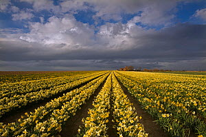 Field of Daffodils (Narcissus sp) grown for the commercial market, Happisburgh, Norfolk, UK, March  -  Ernie Janes