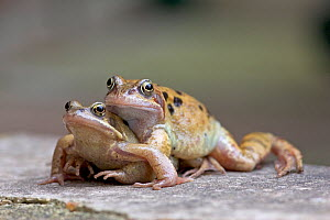 Common frogs (Rana temporaria) pair in amplexus on journey to spawning pond, Norfolk, UK, March - Ernie Janes