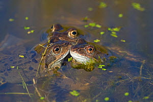 Common frogs (Rana temporaria) in pond, Norfolk, UK, March - Ernie Janes