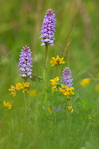 Common spotted orchid (Dactylorhiza fuchsii) and Trefoil (Lotus sp) flowers, UK  -  Ernie Janes