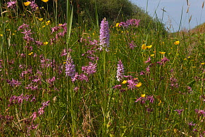 Common Spotted Orchid (Dactylorhiza fuchsii) and Ragged robin (Lychnis sp) flowering, Norfolk, UK, June  -  Ernie Janes