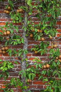 Conference Pear tree (Pyrus communis) growing against wall in garden, UK - Ernie Janes