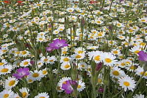 Corn chamomile (Anthemis arvensis) and Corncockle (Agrostema githago) flowering in meadow, UK  -  Ernie Janes