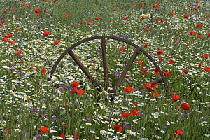 Corn Chamomile (Anthemis arvensis), Corncockle (Agrostema githago) and common Poppy (Papaver rhoeas) flowering in meadow with old metal wheel structure, UK  -  Ernie Janes