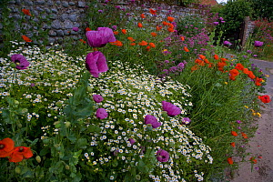 Cottage garden in summer with flowering Poppies, Valerian and Feverfew, Salthouse, Norfolk, UK, June - Ernie Janes