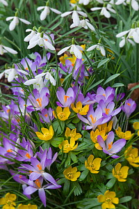 Spring Crocus (Crocus angustifolius), Snowdrops (Galanthus sp) and Winter Aconites (Eranthis sp) flowering in garden, Norfolk, UK,  March  -  Ernie Janes