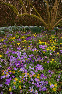 Spring Crocus (Crocus vernus), Snowdrops (Galanthus sp) and Winter Aconites (Eranthis sp) flowering in garden, Norfolk, UK,  March  -  Ernie Janes
