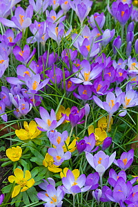 Spring Crocus (Crocus angustifolius) and Winter Aconites (Eranthis sp) flowering in garden, Norfolk, UK,  March  -  Ernie Janes