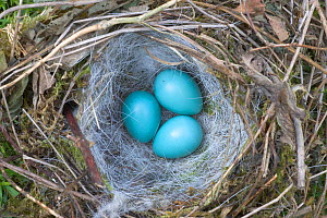 Hedge sparrow / Dunnock (Prunella modularis) nest with three eggs, nest exposed in hedge by summer hedge cutting, UK  -  Ernie Janes