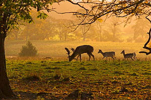 Fallow deer (Dama / Cervus dama) young buck and does in parkland, UK - Ernie Janes