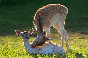 Fallow deer (Dama / Cervus dama) two does intereacting, Bedforshire, UK - Ernie Janes