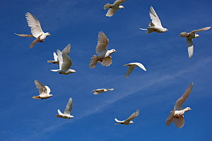 Flock of white Fantail pigeons (Columba sp) in flight, UK - Ernie Janes