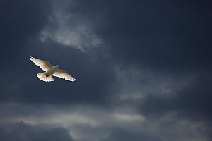 RF- White Fantail pigeon (Columba sp) in flight against dark clouds, UK. (This image may be licensed either as rights managed or royalty free.)  -  Ernie  Janes