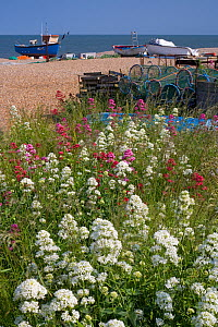 Fishing boats hauled up on beach at Aldeburgh, Suffolk, UK. Valerian growing in foreground - Ernie Janes