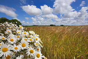 Ox-eye daises / marguerite (Leucanthemum vulgare) flowering on headland margin of Barley field, farmland, UK - Ernie Janes