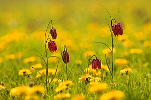 RF- Snake's head fritillary flowers (Fritillaria melegris) and Dandelions (Taraxacum sp), UK. (This image may be licensed either as rights managed or royalty free.)  -  Ernie  Janes