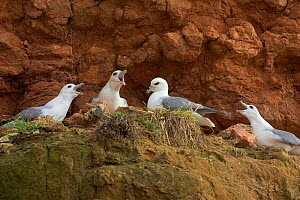 Fulmars (Fulmaris glacialis) nesting on cliff ledge,  Hunstanton, Norfolk  -  Ernie Janes