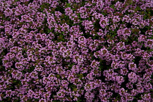 Garden thyme (Thymus sp) in flower, Ashridge herb garden, Hertfordshire, UK  -  Ernie Janes