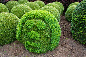 Topairy globes and funny face in garden, Box trees (Buxus sp), Norfolk, UK  -  Ernie Janes