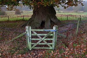 Ancient Oak tree protected by fence and gateway, Felbrigg Hall, Norfolk, UK - Ernie Janes