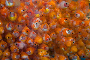 Goldfish (Carassius auratus) for sale in fish market, Hong Kong, China, 2009 - Ernie Janes