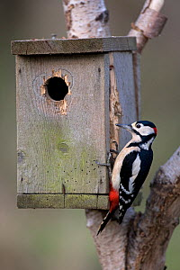 Great spotted woodpecker (Dendrocopus major)pecking at the wood of a nesting box, UK - Ernie Janes