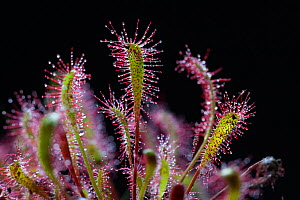 Great Sundew (Drosera anglica) with captured fly, North Norfolk, UK, June  -  Ernie Janes