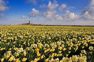 field of Daffodils with Happisburgh Church in the background, Norfolk, UK, April  -  Ernie Janes