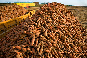Carrots (Daucus carota)  harvested, Norfolk, UK, spring  -  Ernie Janes