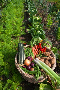 Garden basket full of organic home grown vegatables from vegetable garden, Norfolk, UK  -  Ernie Janes
