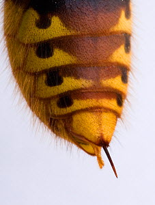 Close up of tail sting of Hornet (Vespa crabro) UK  -  Ernie Janes
