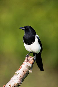 Magpie (Pica pica) perched, UK  -  Ernie Janes