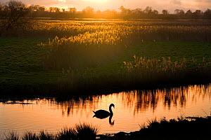 Mute swan (Cygnus olor) on the River Ant at sunset, How Hill, Norfolk, UK, Winter  -  Ernie Janes