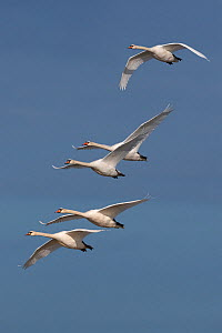 RF- Five Mute Swans (Cygnus olor) in flight, UK. (This image may be licensed either as rights managed or royalty free.)  -  Ernie  Janes