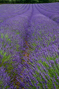 Lavender (Lavendula sp) in flower, commercial crop, Norfolk, UK, - Ernie Janes