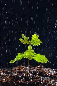 Seedling English oak tree (Quercus robur) in the rain, UK - Ernie Janes
