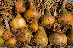 Harvested Onions (Allium cepa) drying in the sun, UK  -  Ernie Janes