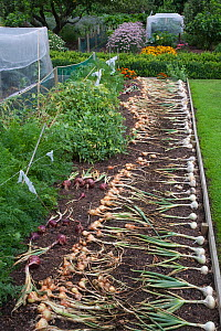 Harvested Onions laid out to dry in sun in vegetable garden, UK  -  Ernie Janes
