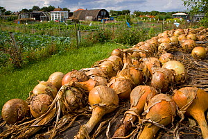 Harvested Onions laid out to dry in sun in garden allotment, UK  -  Ernie Janes