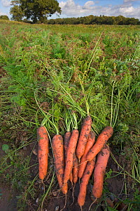 Organically grown Carrots (Daucus carota) in field, Norfolk, UK, October  -  Ernie Janes