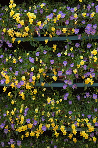 Pots of Yellow and Mauve pansies (Viola sp) on shelving, UK - Ernie Janes