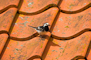 Pied wagtail (Motacilla alba yarrellii) with insect prey for nestlings on tiled roof of barn, Norfolk, UK  -  Ernie Janes