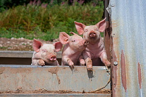 RF- Domestic pig (Sus scrofa domestica) three piglets, Norfolk, UK. (This image may be licensed either as rights managed or royalty free.) - Ernie  Janes