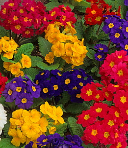 Polyanthus flowers (Primula sp) in garden, UK  -  Ernie Janes