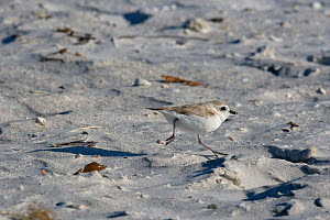 Piping Plover (Charadrius melodus) on shore, UK  -  Ernie Janes