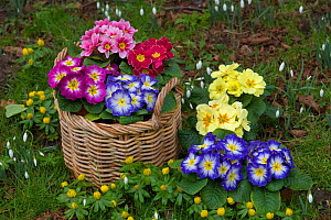 Polyanthus plants (Primula sp) in flower beside Snowdrops and Aconites, Norfolk, UK, February  -  Ernie Janes