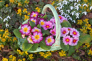 Basket of Polyanthus plants (Primula sp) in flower beside Snowdrops and Aconites, Norfolk, UK, January  -  Ernie Janes